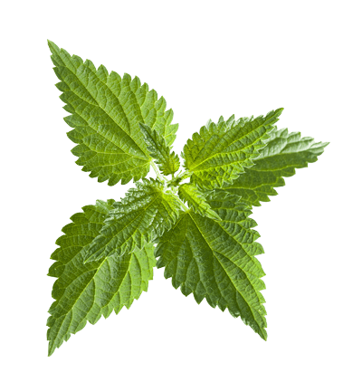 Stinging Nettle Leaf - Kidney Health